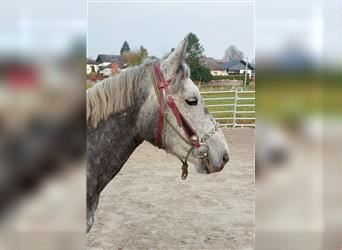 Other Breeds, Mare, 5 years, 13.3 hh, Gray-Dark-Tan