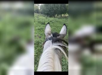 Spotted Saddle Horse, Gelding, 12 years, 14.2 hh, Pinto