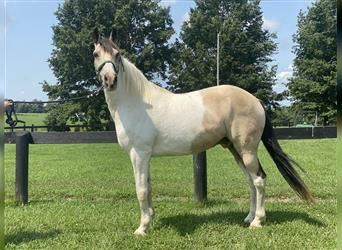 Spotted Saddle Horse, Hongre, 12 Ans, 150 cm, Pinto