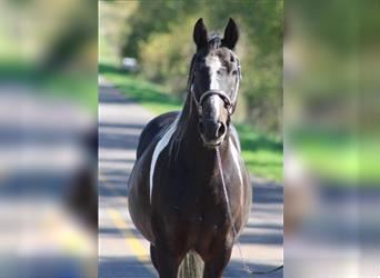 Tennessee Walking Horse, Castrone, 16 Anni, 152 cm