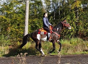 Paint Horse, Gelding, 12 years, 15.2 hh, Pinto