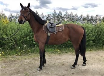 Furioso, Mare, 7 years, 16 hh, Brown