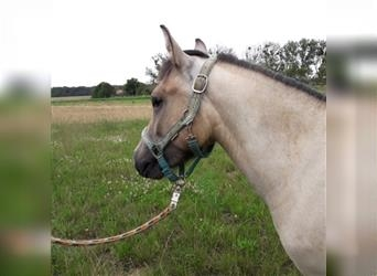 More ponies/small horses Mix, Mare, 2 years, 11.1 hh, Brown Falb mold