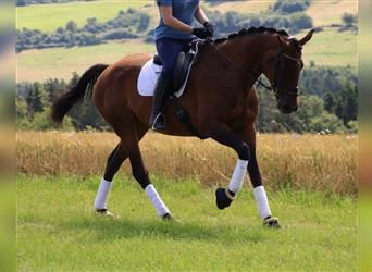 Other Breeds, Mare, 12 years, 16.1 hh, Brown