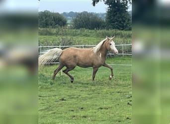 Palomino, Mare, 6 years, 15.1 hh, Overo-all-colors