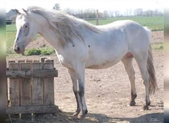 More ponies/small horses, Stallion, 9 years, 13.2 hh, Leopard-Piebald