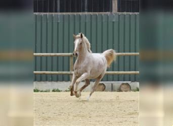 Other Warmbloods Mix, Mare, 10 years, 16 hh, Gray-Red-Tan