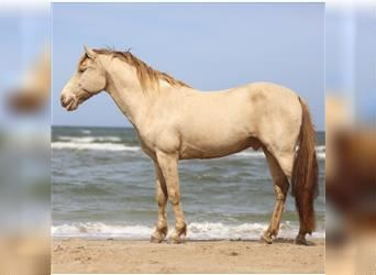 Rocky Mountain Horse, Gelding, 13 years, 14.2 hh, Champagne