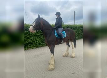 Clydesdale, Gelding, 4 years, 17.2 hh, Brown