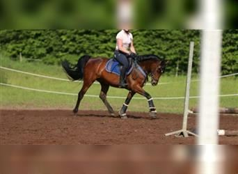 German Riding Pony, Mare, 13 years, 14.2 hh, Brown