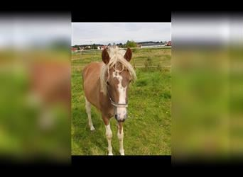 Welsh C (of Cob Type) Mix, Mare, 1 year, 14.1 hh, Pinto