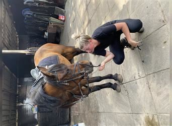 Belgian Riding Pony, Mare, 13 years, 14.1 hh, Brown