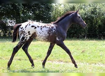 Other Breeds, Stallion, Foal (04/2021)
