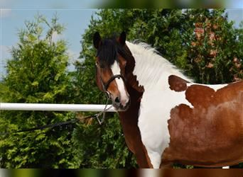 Other Breeds, Mare, 5 years, 15.1 hh, Pinto