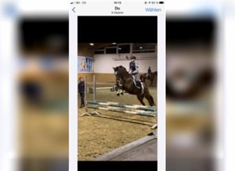Small German riding horse, Gelding, 7 years, 14.3 hh, Brown