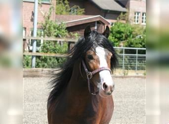 Welsh C (of Cob Type), Stallion, 14 years, 13 hh, Brown