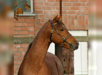 Welsh B, Stallion, 15 years, 13.1 hh, Roan-Red