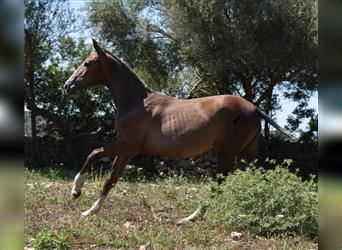 Andalusian, Mare, Foal (01/2021), Gray-Red-Tan