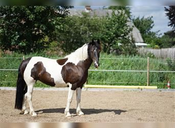 Baroque Pinto Mix, Mare, 9 years, 15.1 hh, Pinto