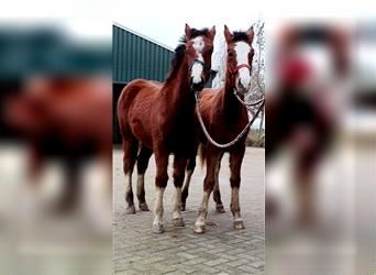 Freiberger, Mare, 1 year, 15.1 hh, Brown