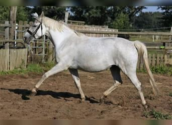 German Riding Pony, Mare, 8 years, 14.1 hh, Gray