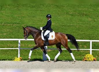 German Sport Horse, Mare, 5 years, 16.2 hh, Brown