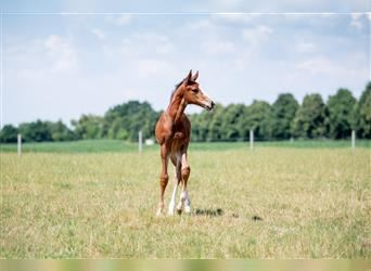 Holstein, Mare, Foal (03/2021), Brown