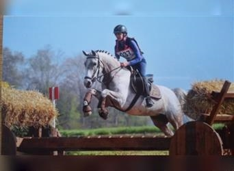 NRPS, Mare, 10 years, 14.1 hh, Gray