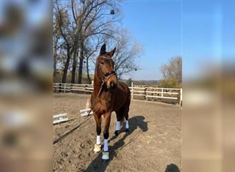 KWPN, Mare, 5 years, 16.1 hh, Brown