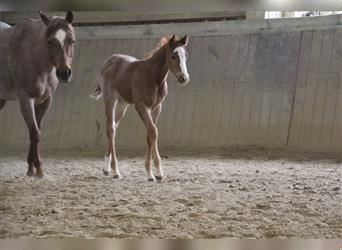Paint Horse, Stallion, Foal (02/2021), 15.2 hh, Roan-Red