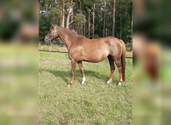 German Sport Horse, Mare, 7 years, 16 hh, Chestnut-Red