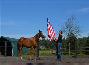 American Quarter Horse, Mare, 1 year, 14.1 hh, Chestnut-Red