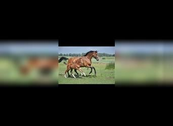 KWPN, Mare, 10 years, 16 hh