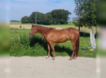 Other Warmbloods Mix, Mare, 4 years, 14.2 hh, Chestnut-Red