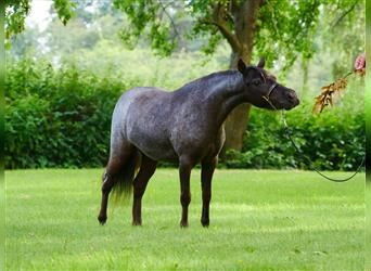 American Miniature Horse, Mare, 3 years, 8 hh, Black
