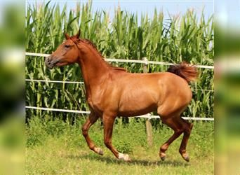 Arabian horses, Mare, 2 years, 15.1 hh, Chestnut-Red