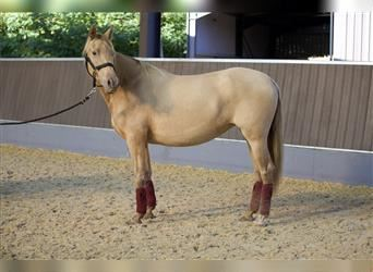 Andalusier, Stute, 4 Jahre, 160 cm, Pearl