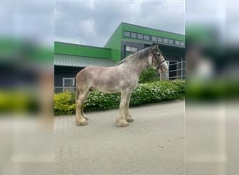 Clydesdale, Jument, 12 Ans, 173 cm, Roan-Bay
