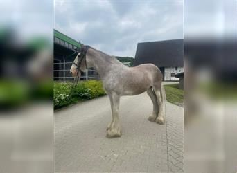 Clydesdale, Mare, 12 years, 17 hh, Roan-Bay