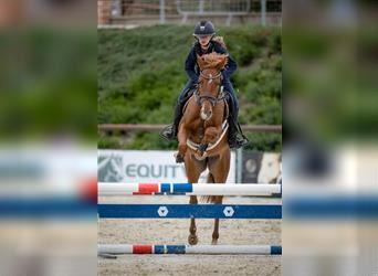 Czech sports pony, Mare, 5 years, 14.1 hh, Chestnut-Red
