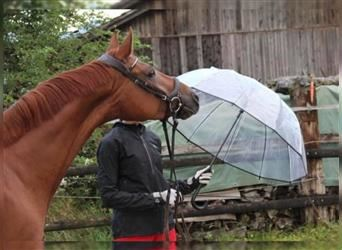 Swiss Warmblood, Mare, 5 years, 15.2 hh, Chestnut-Red