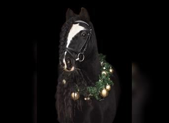 Gypsy Horse, Mare, 11 years, 13.1 hh, Black