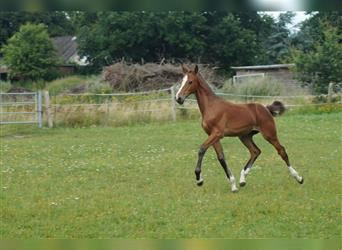 Holstein, Mare, Foal (04/2021), Brown