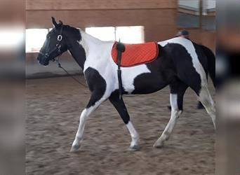 Paint Horse, Gelding, 3 years, 15.1 hh, Tobiano-all-colors