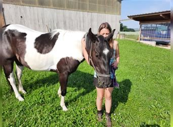 Paint Horse, Wallach, 3 Jahre, 156 cm, Tobiano-alle-Farben