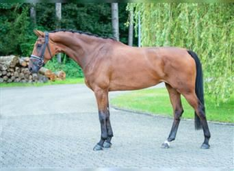 Hanoverian, Mare, 4 years, 16.1 hh, Brown