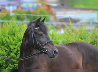 More ponies/small horses, Mare, 12 years, 12.1 hh, Bay-Dark