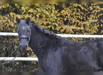 More ponies/small horses, Mare, 3 years, 15 hh, Black