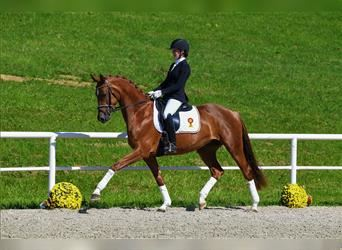 German Sport Horse, Mare, 4 years, 16.1 hh, Chestnut-Red