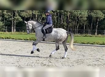 German Sport Horse, Mare, 7 years, 16.3 hh, Gray